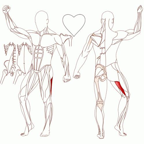 M. Biceps Femoris