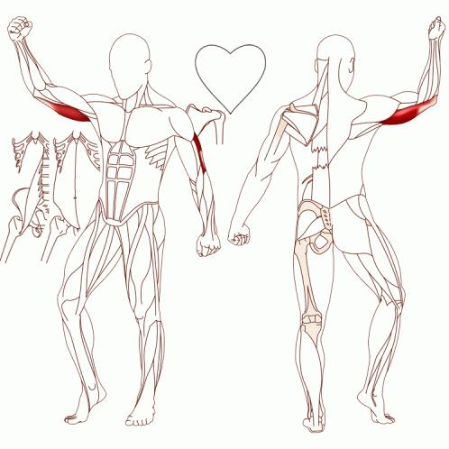 M. Triceps Brachii